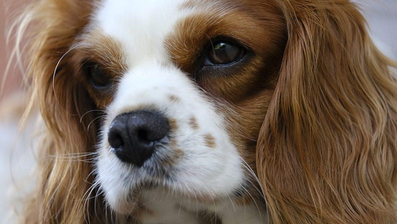 כל מה שרציתם לדעת על כלבי קינג צ'ארלס