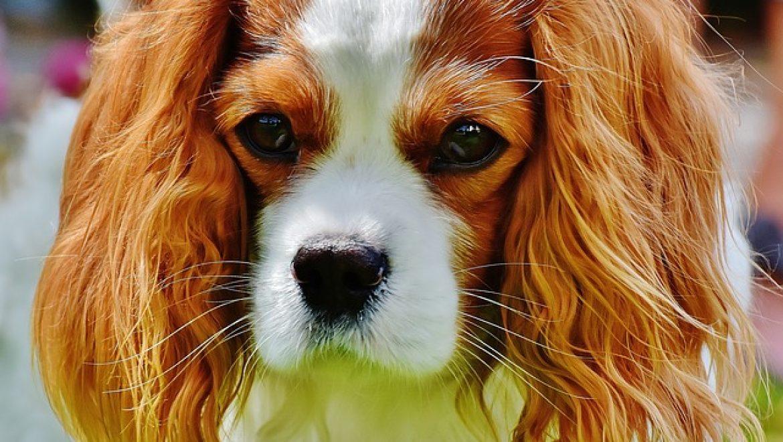 כלבים קינג צארלס
