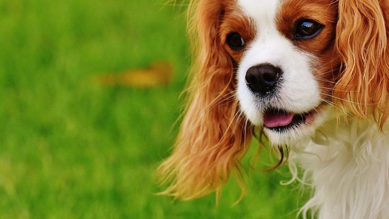 כלבי קינג צ'ארלס – אודותיהם