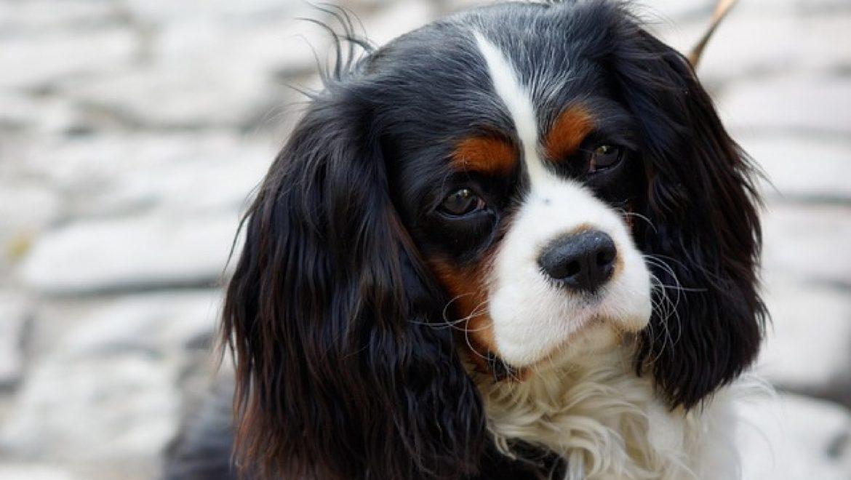 5 עובדות על כלבי קינג צארלס שלא ידעתם