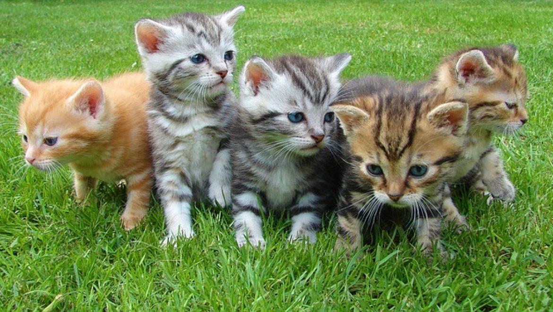 מזון מומלץ לגורי חתולים