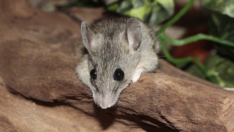 לוכד עכברים – כיצד לוכדים עכברים בצורה יעילה